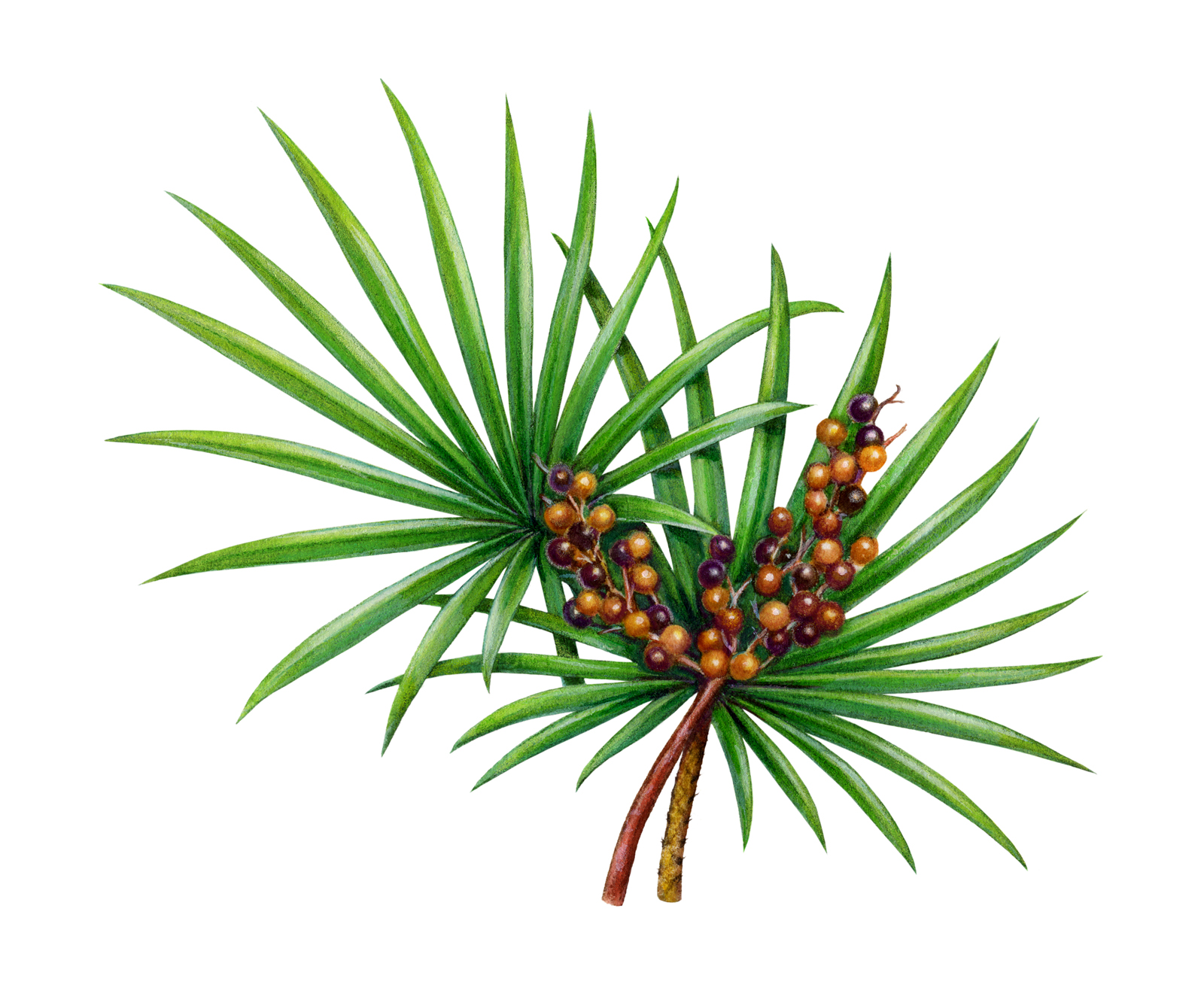 saw_palmetto_for_hair_loss
